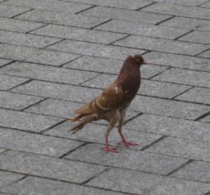 tunis-strange-skinny-pidgeon